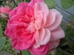 二色のバラ