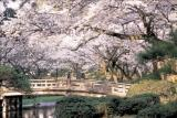 兼六園橋と桜.jpg