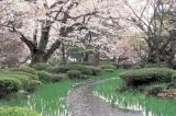 曲水と桜.jpg