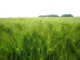 麦が青い.JPG