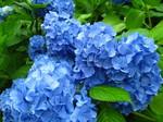 光触媒青色紫陽花