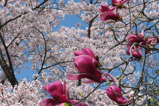 ニシキモクレンと桜
